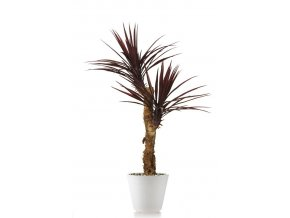 27603 yucca linearis drago 130 cm burgundy 4231b01