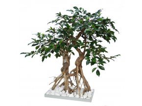 36422 ficus retusa root bonsai 1064007