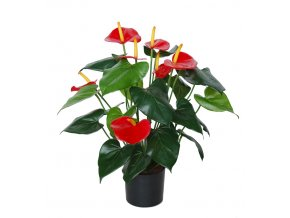 Anthurium w pot 50 cm Grn Red 5431GRD