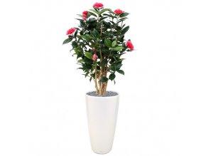 camelia rose 1