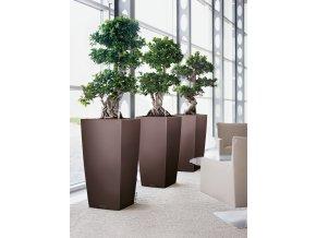 A SQ50 3 esp Ficus microcarpa