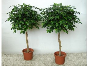 12586 ficus benjamin topiary 150 cm