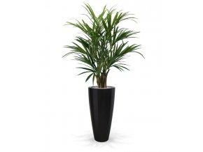 175114 kentia palm deluxe 140 kentucky 80 shiny black