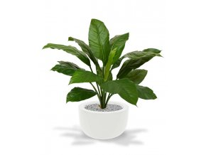 192709 spathiphyllum king boeket groen 80 martinique 33 shiny white 1