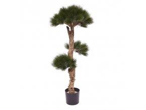 151811 pinus bonsai 1