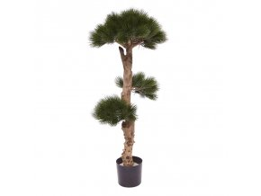 151811 pinus bonsai 1