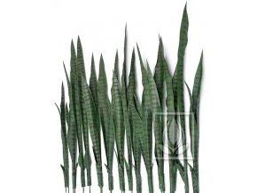 Sanseveria green