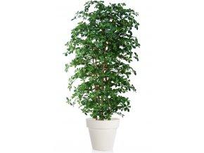 Buxifolia Boschetto 220 cm Green V1056002
