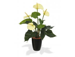 405104pp10cr anthurium 40 creme orchid high 10 black