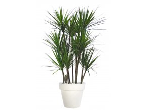 Dracaena Marginata Boschetto 190 cm Green Red V5547000