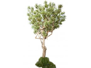 dracaena reflexa nidra lux 320 cm variegated 4009a34
