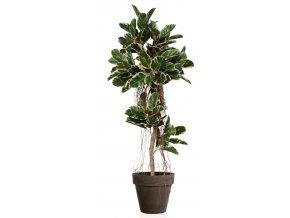 Ficus Elastica Air Tree 190cm Var