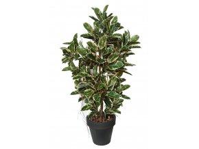 Ficus Elastica Boschetto 210 cm Variegated V1081003