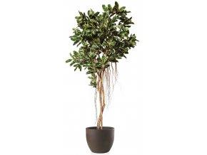 Ficus Elastica Tree 350 cm Variegated V1081002VAR