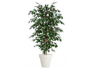 Ficus Exotica Almora 180 cm Green V1049009