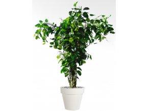 Pothos Tropical Tree 350 cm V5498005