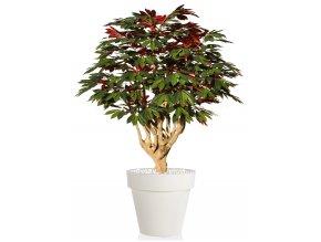 Capensia Robusta 170 cm Green Red V1083008