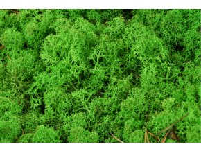 Lichen zeleny forest detail