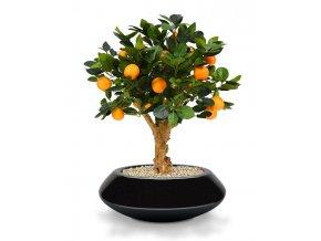 193006 sinaasappel bonsai 65 op voet south australia 40 shiny black