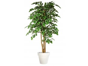 Beech Florida Topiary 200 cm Variegated V1080V06