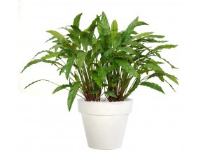 Calathea Bush Lux 100 cm Green V5415002