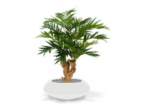 184607 parlour palm 70 op voet south australia 40 shiny white 2