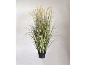 411410 pennisetum grasplant 105