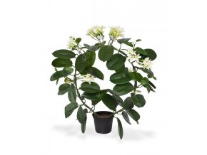440104 stephanotis 40