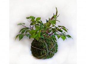 mechová kokedama s umělou květinou - ficus benjamina