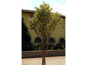 Umělý strom Dracaena Reflexa Gigantea (350cm) vícebarevná  dracena