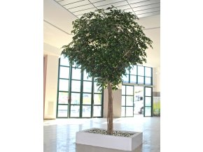 Ficus Exotica Gigantea 430 cm Green Itop Sanitaria (1)