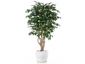Ficus Exotica Malabar 180 cm Green V1049027