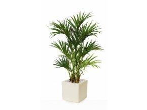 Umělá palma Kentia Lux x2 (180cm)