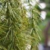 Umělá rostlina Asparagus Spengeri (60cm)
