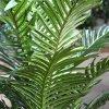 170610 paradize palm promo 100 pp close up 4