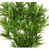 Dracaena Reflexa zelena