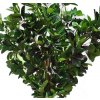 Ficus Elastica Green