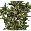 Ficus Elastica Vario