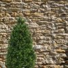 138514 buxus tower 140 sfeer