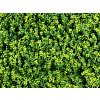 Buxus Long Vario II. 1