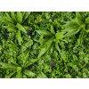sedum flower Plantenwand 100x100cm detail2a