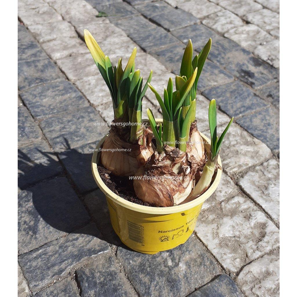 Narcis v květináči