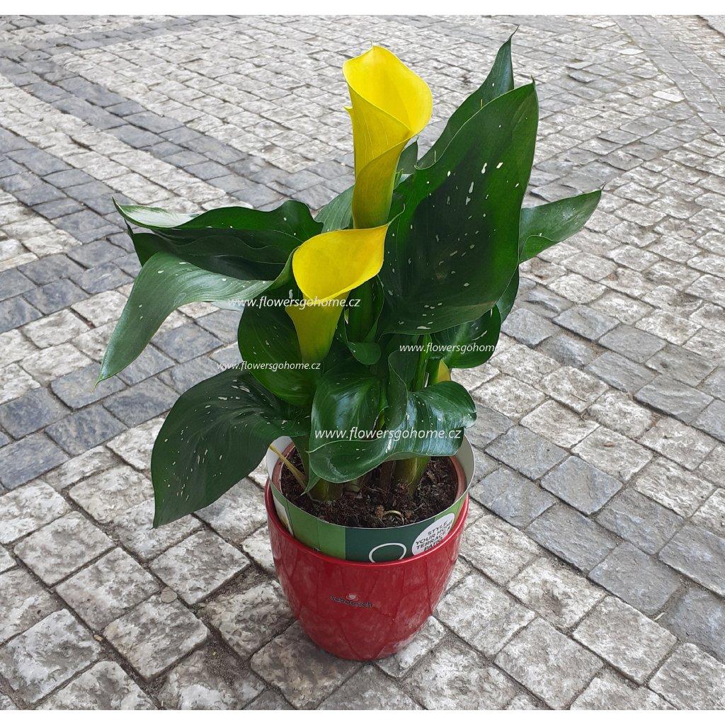Calla v květináči