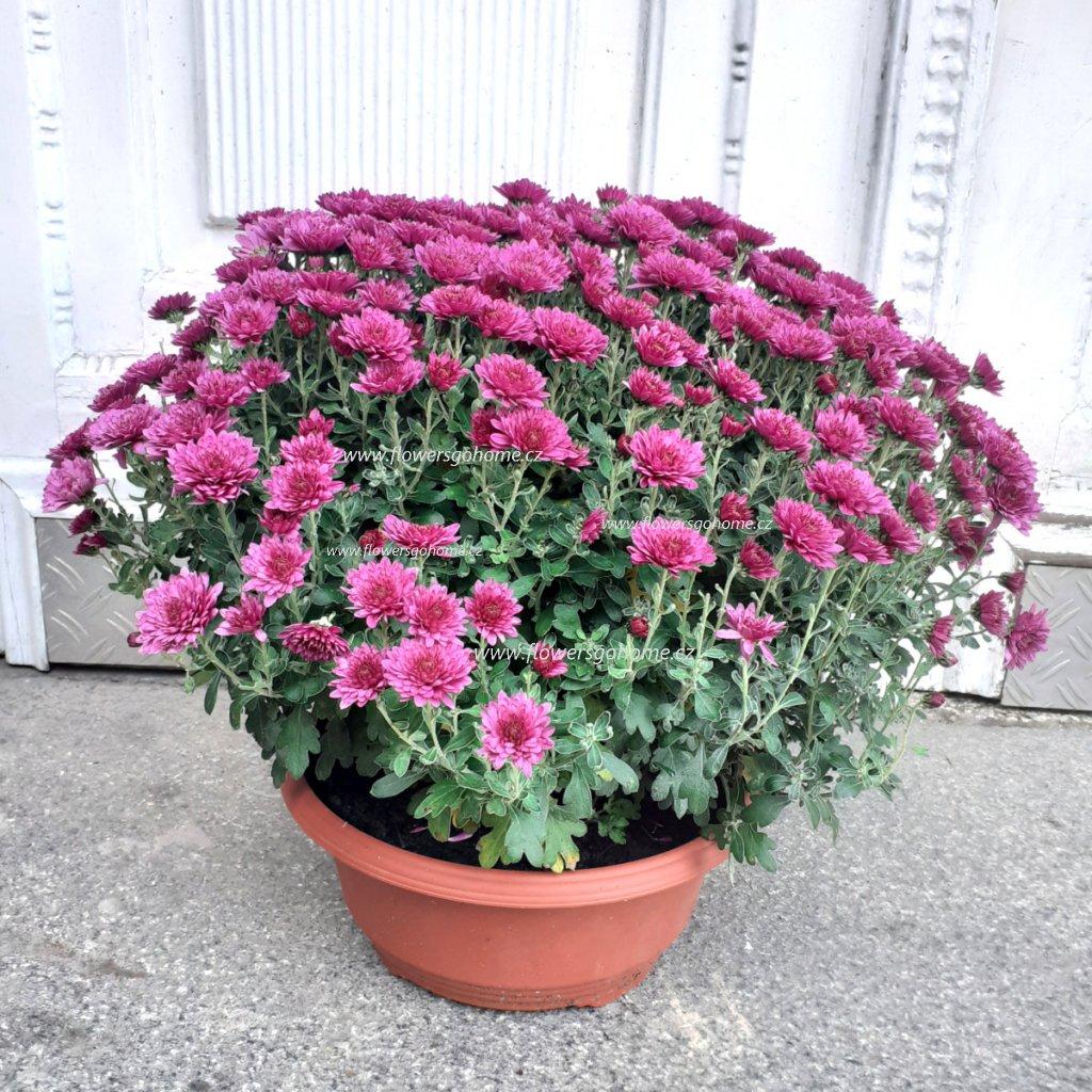 Chryzantéma 45 cm