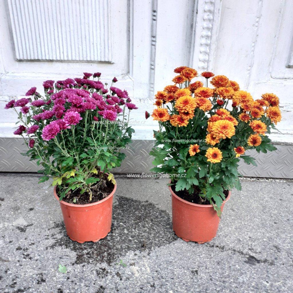 Chryzantéma 25 cm