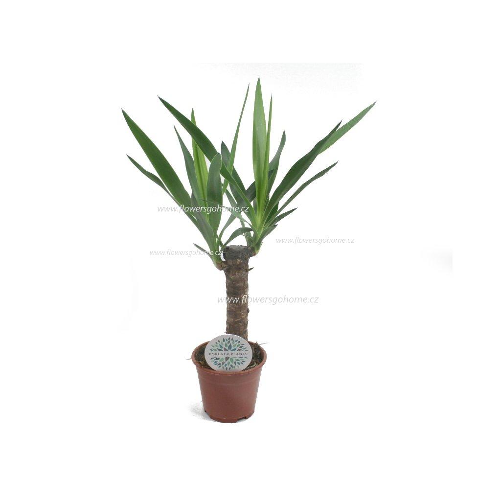 Yucca 50 cm