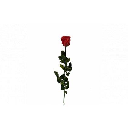 Stabilizovaná růže volná