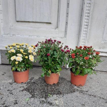 Chryzantéma 20 cm