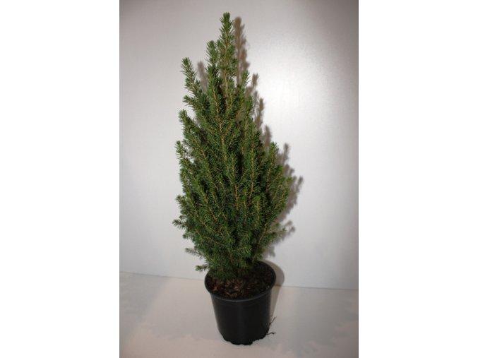 Vánoční stromeček 65 cm  Picea Conica