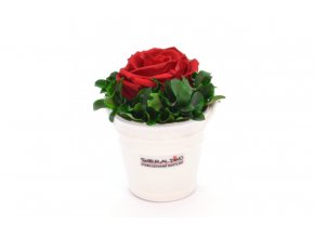 Stabilizovaná růže red